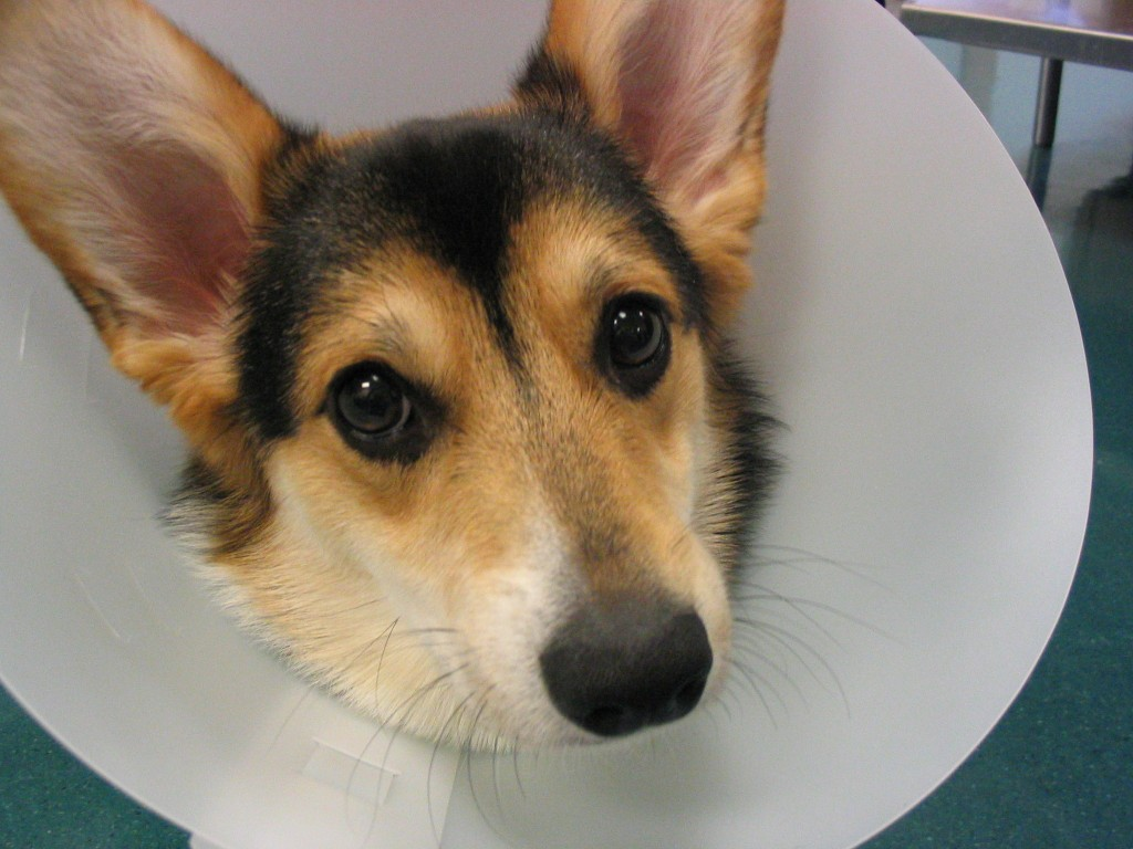 Best Collar For Dogs After Surgery