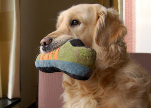 Golden retriever holding a shoe